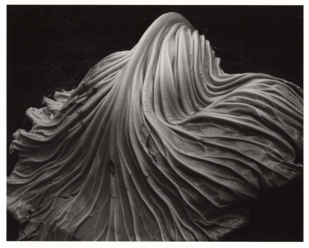 """Cabbage Leaf"" © Edward Weston"